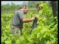 Дело было на винограднике